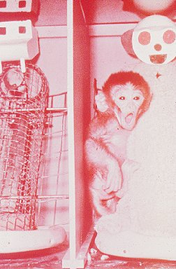 """essay on love in infant monkeys An infant monkey clinging to its terry cloth """"mother  anthropologists commonly  hold that the infant's love is learned through the association of the mother's face, ."""