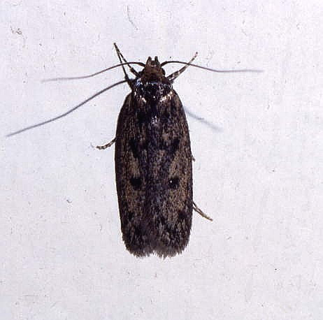 I See This Moth Distressingly Often In My Apartment And It Is Far Commoner Than The True Clothes Moths Tineidae Although Not Closely Related To