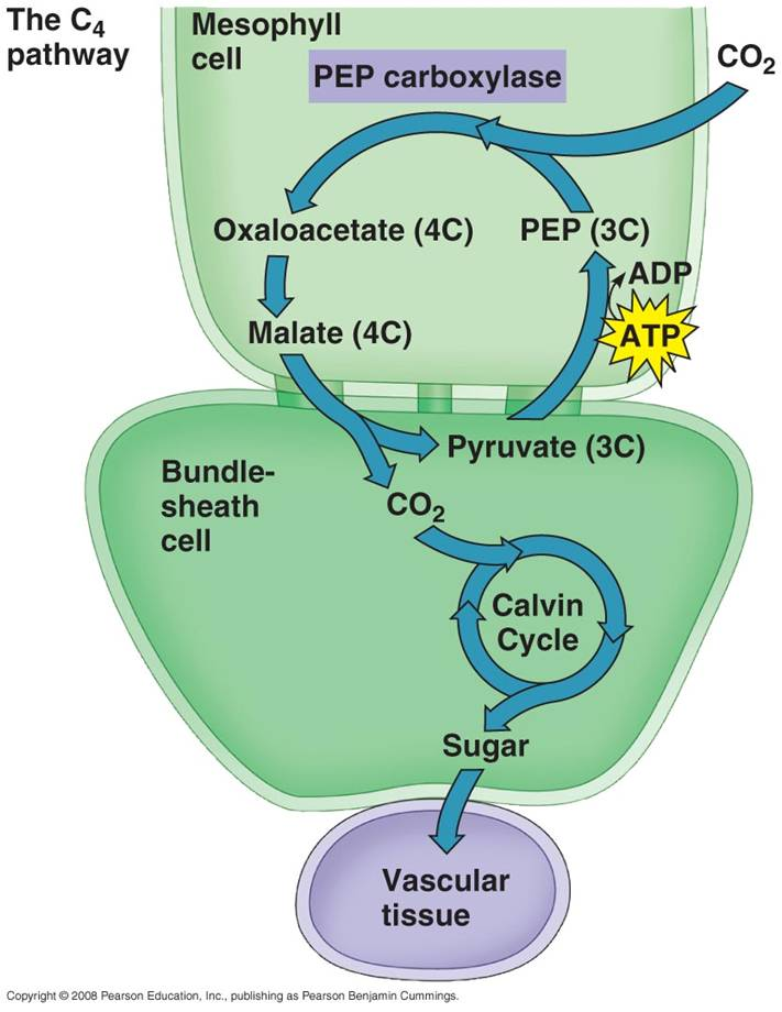 photosynthesis cycle steps