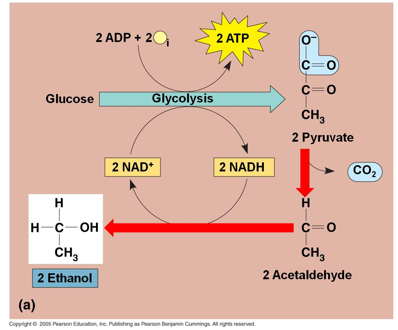 2 in the absence of oxygen some cells and organisms can use glycolysis coupled to fermentation to pr The end-point of glycolysis is the formation of pyruvate (2 molecules of pyruvate per molecule of glucose), which can enter several different metabolic pathways depending on the type of organism and the presence of oxygen.