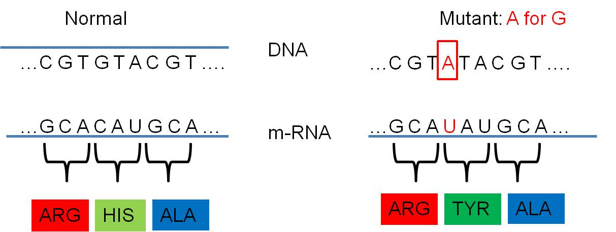 does a change within an amino How changing one nucleotide within a dna molecule of a a single nucleotide change in dna can change the mrna codon, which can change the amino.