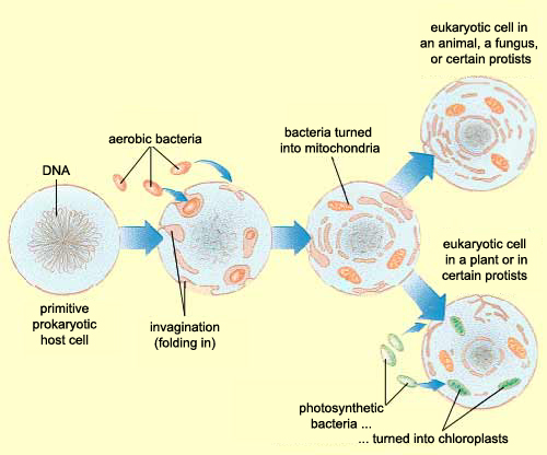 the evolution of eukaryotic cells from
